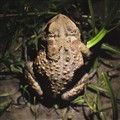 Forest 44 Conservation Area, near Valley Park, Missouri, USA - frog illuminated with small flashlight