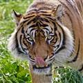 tiger lick2_2714
