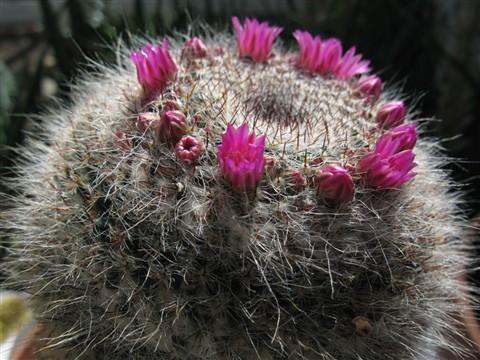Cactus A650 sm_0107