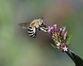 Blue-banded Bee