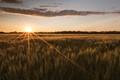 Golden Sunset over a Golden Field
