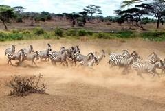 斑马在奔跑上