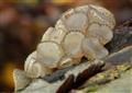 Neobulgaria pura, beech jelly disc