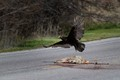 Takeoff:  Turkey Vulture (Cathartes aura) in flight over coyote carcass (Canis latrans)