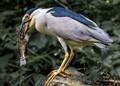 heron w fish
