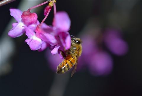 BeeCrop