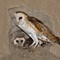barn owl with juv 2016 2000x1500