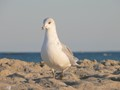 bold gull on Long Beach Island