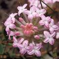 Pimelia (Pink Rice Flower)