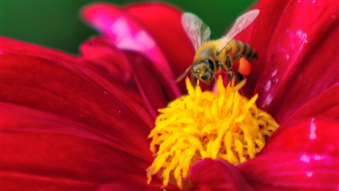 Bee polenizing flower