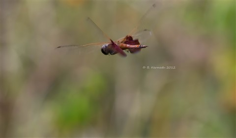 Red saddlebags dragonfly (Tramea onusta - Libellulidae) in flight