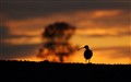 Curlew silhouette