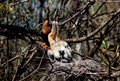 Mother Anhinga and her babies in the nest at the Corkscrew Swamp Sanctuary.