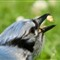 20110628_Blue_Jay_bird_shutter_speed_motion_091_iPad-2