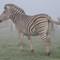 Zebra Flat