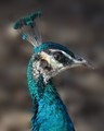 Juvenile Indian peacock (Pavo cristatus) taken in California.
