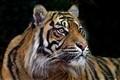 Tiger Tiger smaller