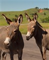 wild donkeys (1 of 1)