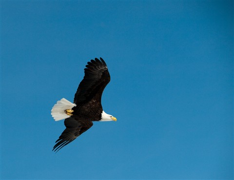 Eagle in Flight-3250001