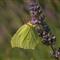 "Gonepteryx  rhamni  "" Cedronella ""    P7093437"
