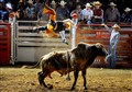 Bull Launching  Bullrider