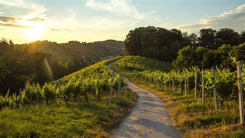 vineyard169
