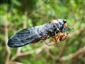The end of a cicada