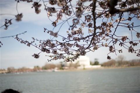 blossoms_jeffereson