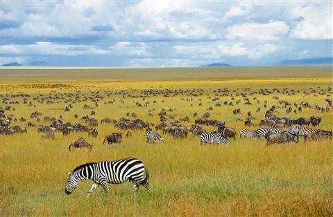 Zebras Amongst The Ubiquitous Wildebeast Migration
