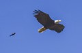 Eagle being chased