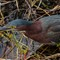 Green heron on the hunt_DSC08873