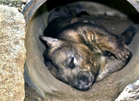 Hairy-Nosed Wombat
