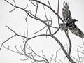 Blackbird flying away in the rain