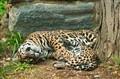 Resting Jaguars