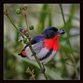 """Mistletoe Bird"""