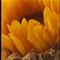 Lynn's Sunflower