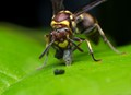 Wasp with Its Prey