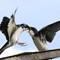 Treeswallow feeding fledgling 02 - Img_0384_0945