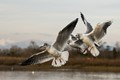Black-headed Gull Trio