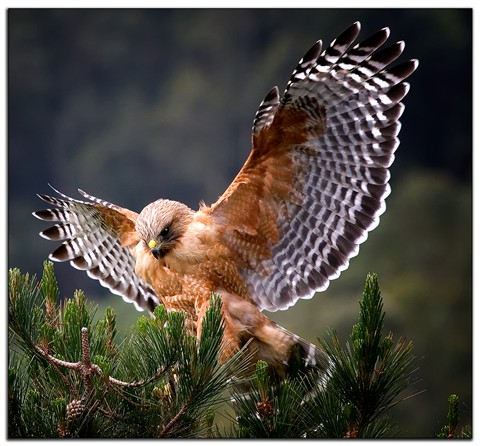 Repaired-Red-Shouldered-Hawk-2f_5.61_750-s40070.0-200.0-mm200.0-mm007810