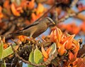 Chestnut-tailed Starling on flowering Butea