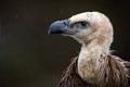 It is the most abundant specie of vultures in Europe and the Middle East, widespread from the Atlantic ocean to India.