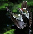 Pileated Woodpecker, Juvenile_1630