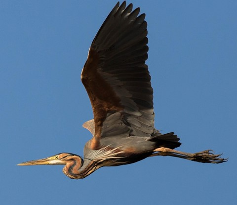 Purple Heron3rs