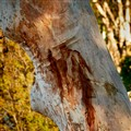 Eucalyptus racemosa – Narrow-leaved Scribbly Gum  Snappy Gum