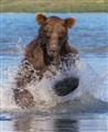 Running brown bear