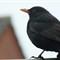Blackbird through a window - EXR AUTO 30x
