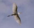 Great Egret wide open