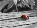 Lady Bug in Black