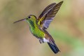 Of the 17 species of humming birds the copper rumped humming bird is the most  popular  in Trinidad and Tobago and seen all over the island. Although small 4 inches (10cm) long it is a very territorial bird and will attach any other bird.